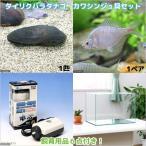 (淡水魚)タイリクバラタナゴ カワシンジュ貝セット 水槽 飼育用品付き 本州・四国限定