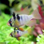 (熱帯魚)ジャーマン・ラミレジィ(東南ブリード)(2匹)