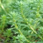 (水草)ミリオフィラムsp.(ガイアナドワーフ)(水上葉)(無農薬)(5本)