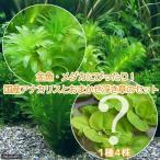 (水草)金魚藻 アナカリス(無農薬)(5本) +おまかせ浮草1種(4株) 北海道航空便要保温
