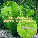 (めだか)(水草)メダカ・金魚藻 国産 アナカリス(無農薬)(5本)+クロメダカ(6匹)
