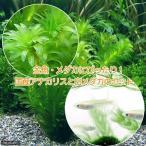 (めだか 水草)金魚藻 国産 アナカリス(無農薬)(5本) +白メダカ(6匹)