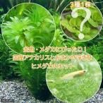 (めだか)(水草)メダカ・金魚藻 国産 アナカリス(無農薬)(5本)+おまかせ浮き草3種+ヒメダカ(6匹)