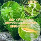 (めだか)(水草)メダカ・金魚藻 国産 アナカリス(無農薬)(5本)+おまかせ浮き草3種+楊貴妃メダカ(4匹)