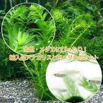 (めだか 水草)金魚藻 アナカリス(輸入品) 5本 +白メダカ(6匹)