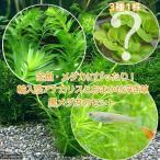 (めだか 水草)金魚藻 アナカリス(輸入品) 5本 +おまかせ浮き草3種+クロメダカ(6匹)