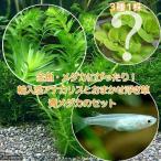 (めだか 水草)金魚藻 アナカリス(輸入品) 5本 +おまかせ浮き草3種+青メダカ(6匹)