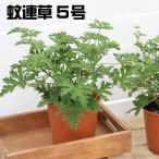 ハーブの苗 蚊連草 蚊よけ植物かれんそう 5号鉢植え