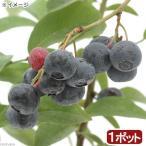 (観葉植物)果樹苗 ブルーベリー ブライトウェル(大実ラビットアイ系) 4号(1ポット) 家庭菜園