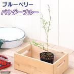 (観葉植物)果樹苗 ブルーベリー パウダーブルー(大実ラビットアイ系) 4号(1ポット) 家庭菜園