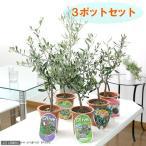 (観葉植物)果樹苗 オリーブ(品種おまかせ) 5号(お買い得3鉢セット) 品種名のラベル付き 家庭菜園 沖縄別途送料