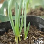 (観葉)野菜苗 ネギニラ なかみどり 3号(1ポット) 家庭菜園