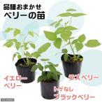 (観葉)果樹苗 ベリーの苗(品種おまかせ) 3号(1ポット) 家庭菜園