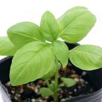 (観葉植物)ハーブ苗 バジル スイート 3号(1ポット) 家庭菜園