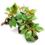 (水草)ルドウィジア レペンス ルビン(水上葉) 流木付(無農薬)Sサイズ(1個)(約10〜15cm)