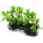 (水草)ウォーターウィステリア(水上葉) 流木付(無農薬)Sサイズ(1個)