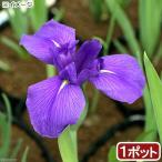 (ビオトープ/水辺植物)カキツバタ 多摩川(1ポット分)(植えたて)