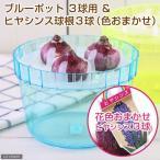 (観葉)私の花園 ヒヤシンス球根 水栽培セット(ブルーポット) 球根3球付き