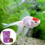 (国産金魚)丹頂(1匹) + キョーリン 咲ひかり 金魚 色揚げ用 浮上 150g セット 本州四国限定