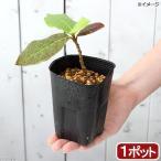 (山野草)盆栽 モモタマナの苗(桃玉菜)3〜3.5号 マジックリーフ