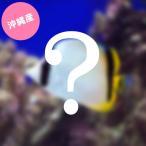 (海水魚)沖縄産 チョウチョウウオミックス(3匹) 北海道・九州・沖縄航空便要保温