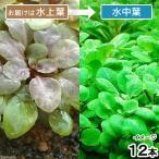 (水草)ロベリアカーディナリス(水上葉)(無農薬)(12本)