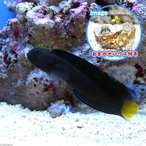 (海水魚)おまかせハウスとイエローテールブレニー(1セット) 北海道・九州・沖縄航空便要保温