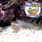 (海水魚)おまかせハウスとスマイリーブレニー(1セット) 北海道・九州・沖縄航空便要保温