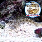 (海水魚)おまかせハウスとロウソクギンポ(1セット) 北海道・九州・沖縄航空便要保温