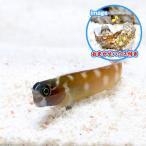 (海水魚)おまかせハウスとドットダッシュブレニー(1セット) 北海道・九州・沖縄航空便要保温