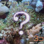 (海水魚 サンゴ)お一人様2点限り おまかせプチサンゴ(ソフトコーラル)(3個) 北海道・九州・沖縄航空便要保温