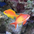 (海水魚)東アフリカ産 キンギョハナダイ ペア(1ペア) 北海道・九州・沖縄航空便要保温