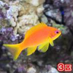 (海水魚)東アフリカ産 キンギョハナダイ メス(3匹) 北海道・九州・沖縄航空便要保温