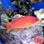 (海水魚)キンギョハナダイ メス(3匹) 北海道・九州・沖縄航空便要保温