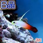 (海水魚)(B品)ハタタテハゼ(3匹) 北海道・九州航空便要保温