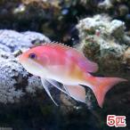 (海水魚)マルシアズアンティアス(5匹) 北海道・九州・沖縄航空便要保温