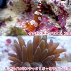 (海水魚 エビ)サンゴイソギンチャク SS-Sサイズ(1匹)+ イソギンチャクモエビ(2匹) 北海道・九州・沖縄航空便要保温