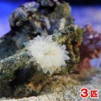 (海水魚 無脊椎)サンゴイソギンチャク SS-Sサイズ(3匹)