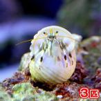 (海水魚 ヤドカリ)シロサンゴヤドカリ(3匹) 北海道・九州・沖縄航空便要保温