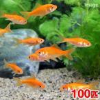 (金魚)生餌 小赤 エサ用金魚 大和郡山産(100匹) エサ金 餌金画像