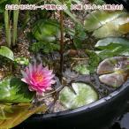(ビオトープ/水辺植物)おまかせビオトープ植物セット 10種(睡蓮(スイレン)1種含む)本州・四国限定(休眠株)