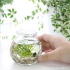 (水草)私の小さなアクアリウム 〜マリモとウィローモス〜(1セット) 説明書付 本州・四国限定