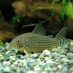 (熱帯魚)コリドラス・ステルバイ(3匹) 北海道・
