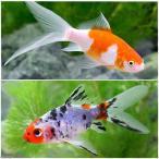 (国産金魚)おすすめ金魚セット(コメット+朱文金 各1匹) 北海道・九州航空便要保温