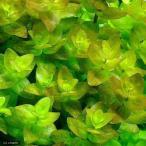 (水草)ウォーターバコパ(水上葉) 鉢植え(無農薬)(3ポット分)