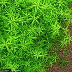 (水草)ベトナムゴマノハグサ(無農薬)(6本) 北海道航空便要保温