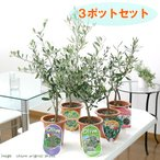 (観葉)果樹苗 オリーブ(品種おまかせ) 4号(お買い得3鉢セット)(品種名のラベル付き) 家庭菜園