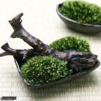 (観葉/苔)私の小さな苔盆栽 �わびさび益子焼角鉢とコケと流木のセット� 本州・四国限定
