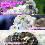 (海水魚 ヤドカリ)サンゴヤドカリ 3種セット(1セット) 北海道・九州・沖縄航空便要保温