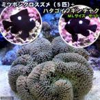 (海水魚 無脊椎)ミツボシクロスズメダイ(5匹)+ ハタゴイソギンチャク ミックス MLサイズ(1匹)